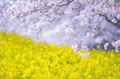 今見頃の桜の名所チェックも簡単!開花情報サイトを賢く使おう