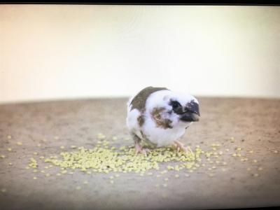 逃げ恥 白い鳥