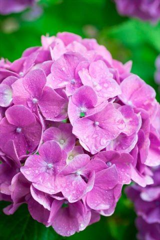 梅雨に咲く花の名前と花言葉は?心を癒すおすすめ10選!