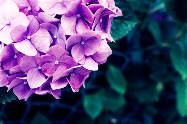 紫陽花,花